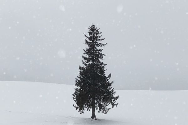pine tree in the snow with snowy background